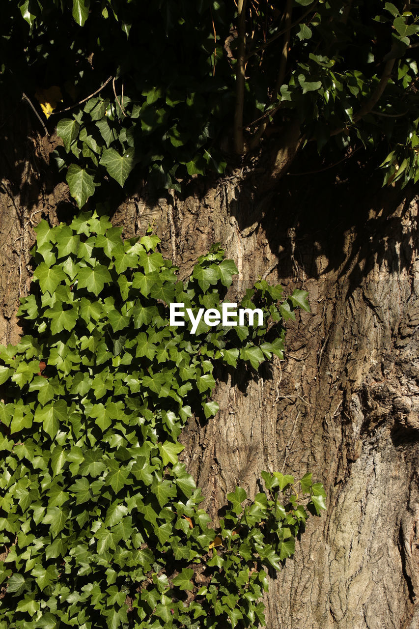 plant, growth, tree, tree trunk, trunk, nature, green color, day, no people, plant part, beauty in nature, leaf, tranquility, outdoors, textured, close-up, land, focus on foreground, selective focus, sunlight, bark