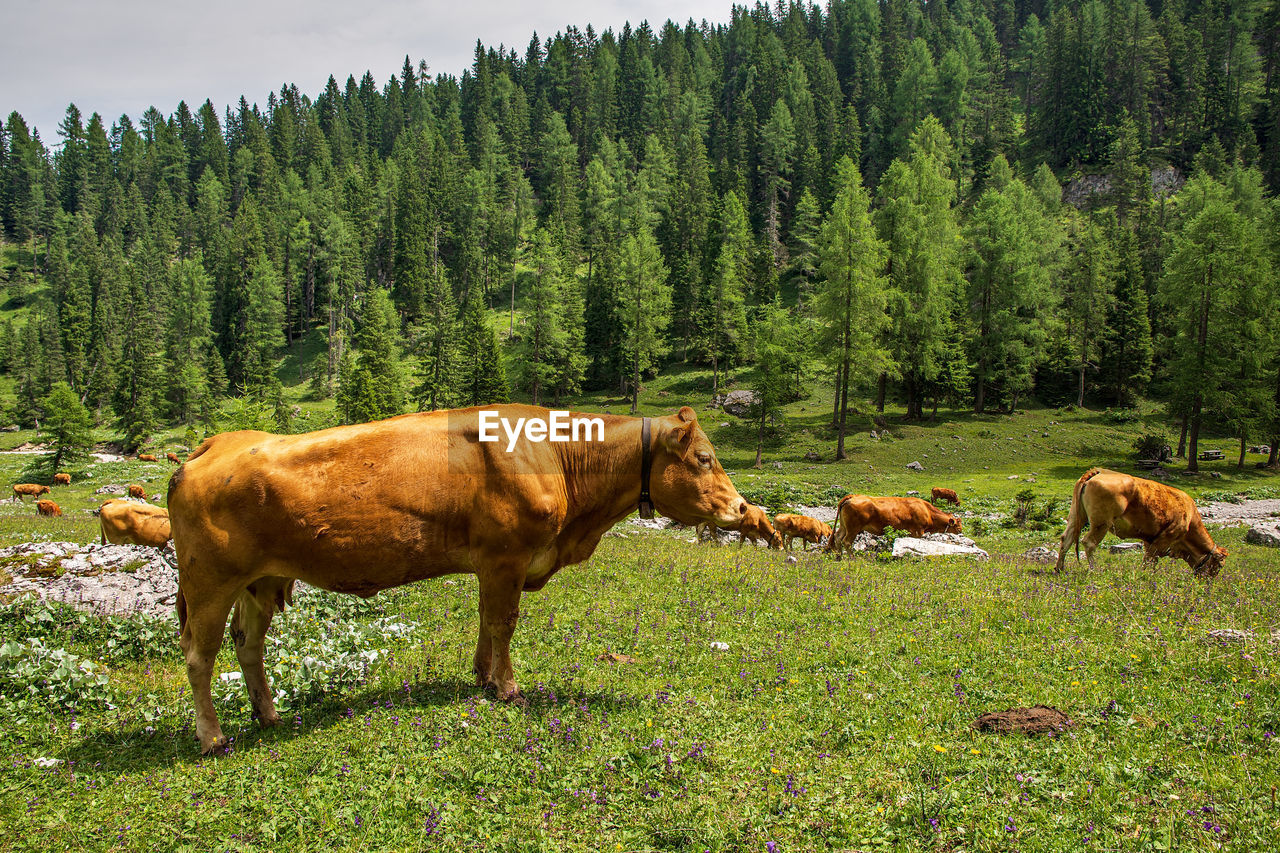 mammal, animal, plant, land, animal themes, tree, domestic animals, domestic, field, vertebrate, nature, pets, cattle, livestock, cow, green color, group of animals, no people, day, grass, outdoors, herbivorous, animal family