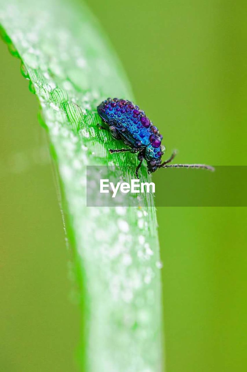green color, insect, animal themes, animal, invertebrate, animal wildlife, one animal, close-up, animals in the wild, plant, selective focus, no people, leaf, plant part, nature, day, beauty in nature, zoology, fragility, vulnerability, purple, outdoors