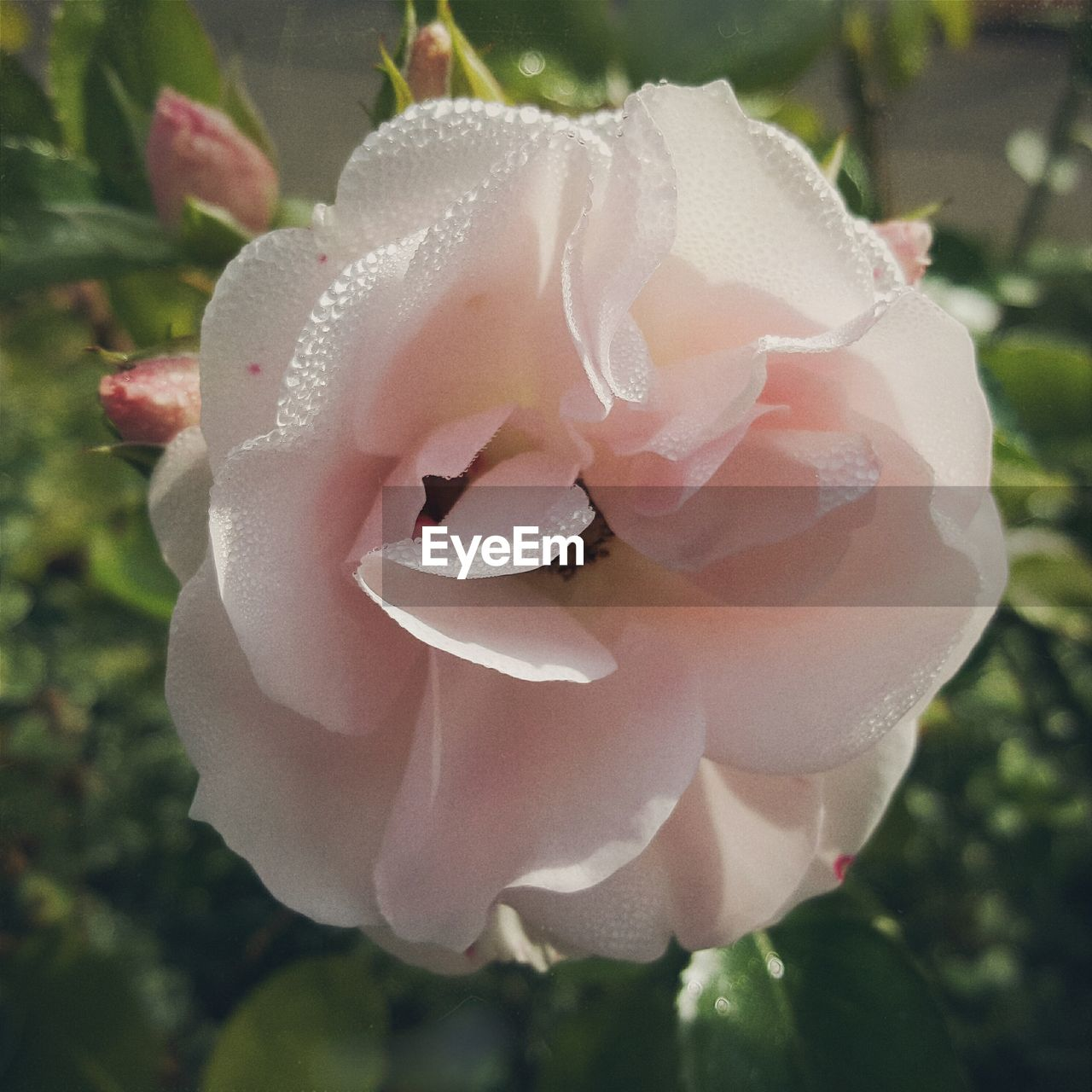 flower, petal, nature, beauty in nature, rose - flower, fragility, flower head, close-up, growth, plant, no people, freshness, outdoors, drop, day, wild rose, blooming, water