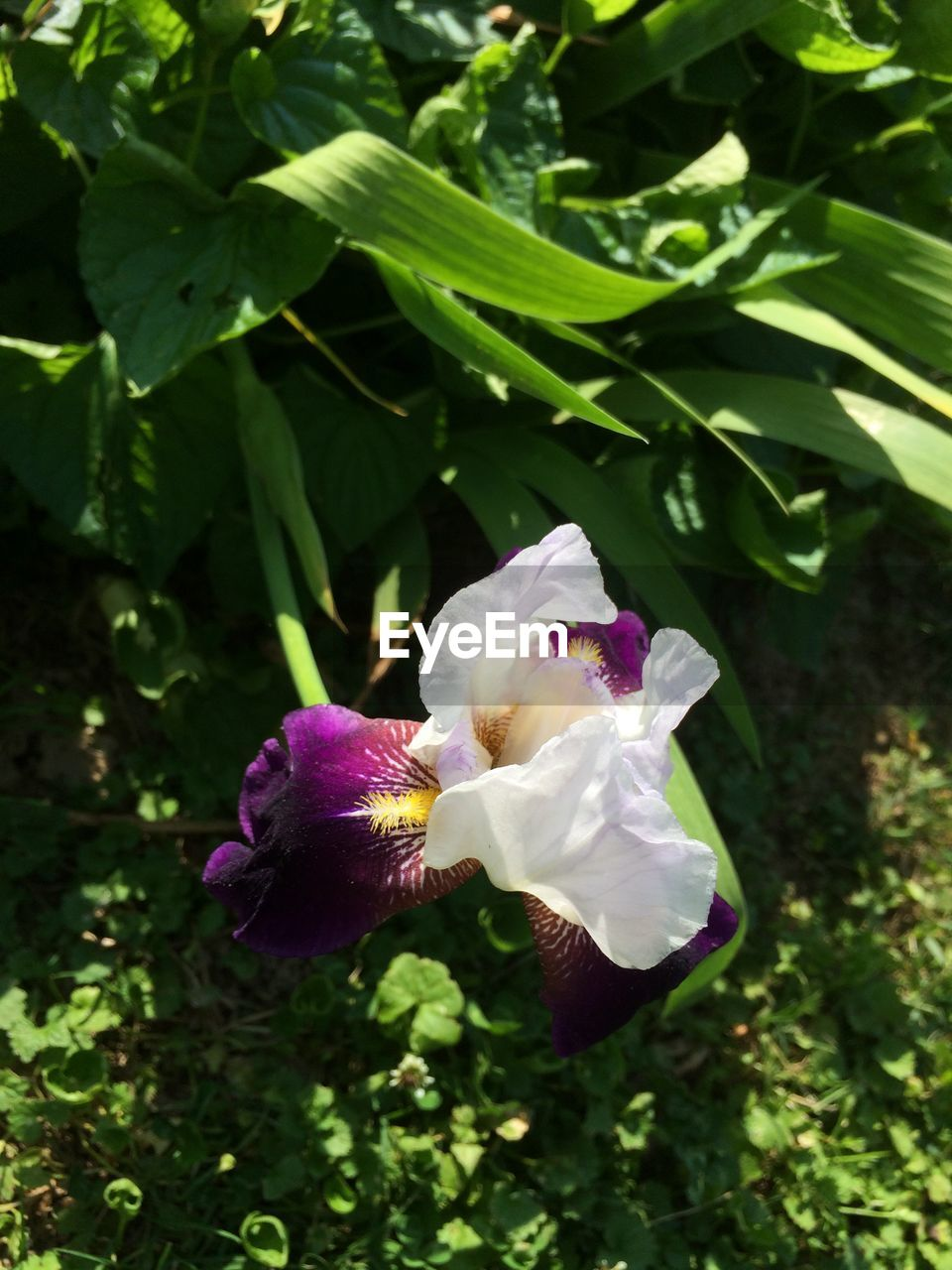 plant, flowering plant, beauty in nature, growth, flower, vulnerability, freshness, fragility, petal, close-up, nature, flower head, inflorescence, plant part, leaf, no people, day, green color, purple, outdoors, iris - plant