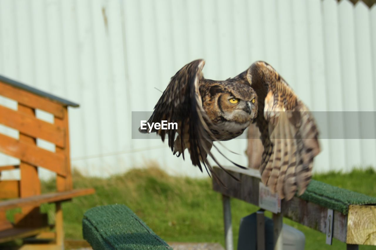 animal themes, animal, one animal, vertebrate, bird of prey, bird, animal wildlife, owl, animals in the wild, focus on foreground, flying, spread wings, day, nature, no people, outdoors, looking at camera, built structure, wood - material