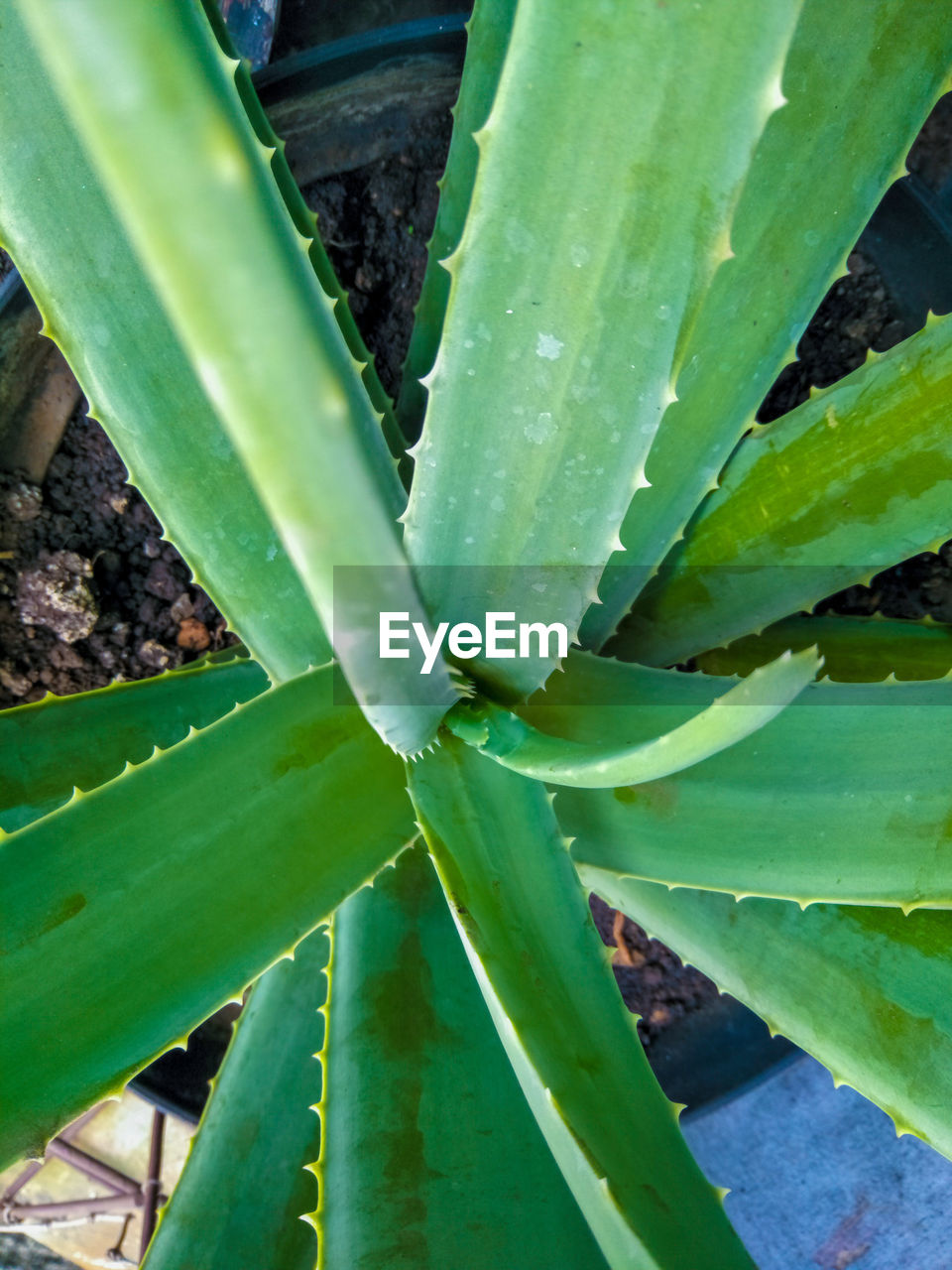 Directly above shot of succulent plant on field