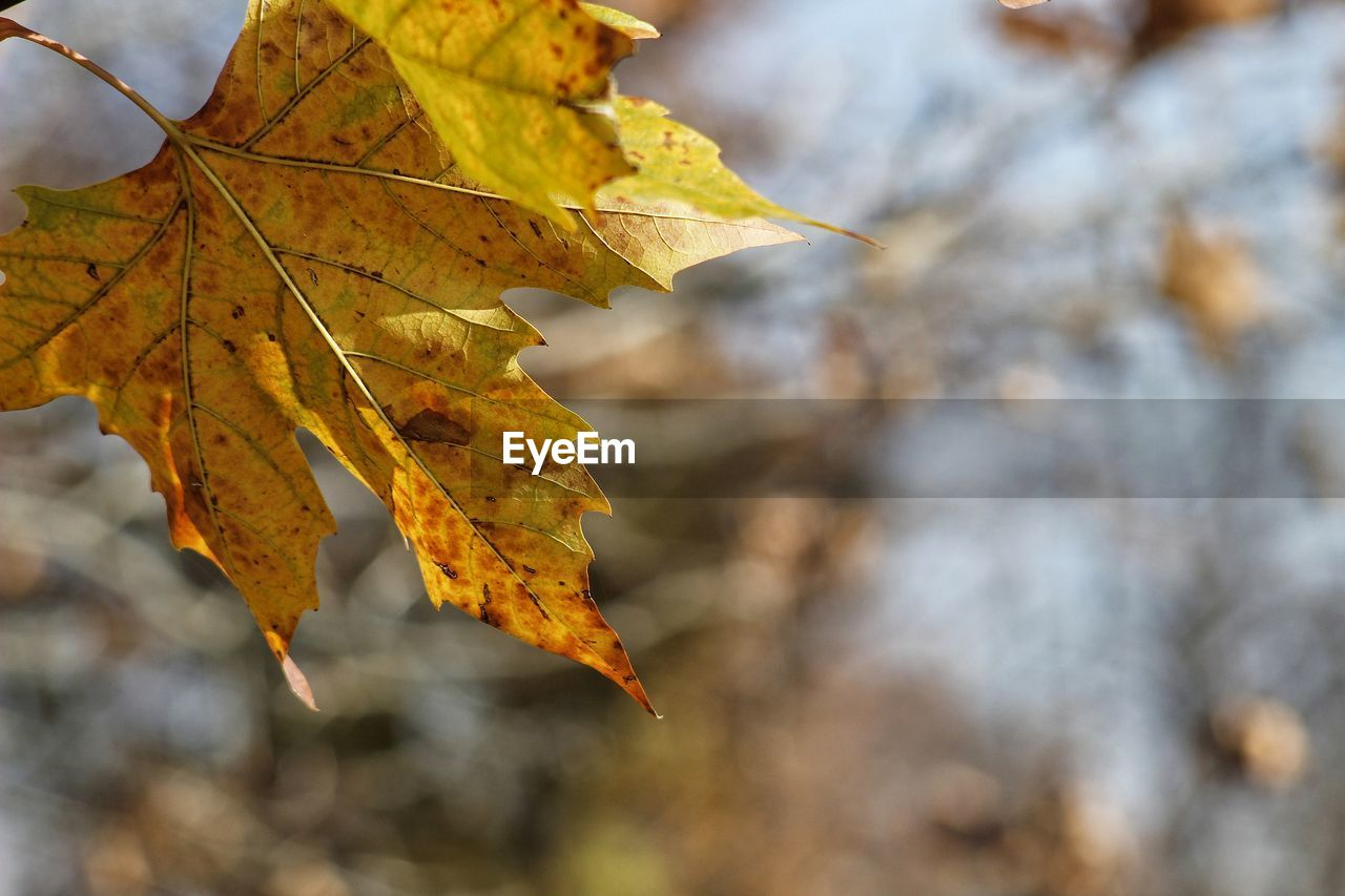 change, leaf, autumn, maple, nature, dry, maple leaf, outdoors, focus on foreground, day, beauty in nature, leaves, selective focus, close-up, scenics, no people, branch, water