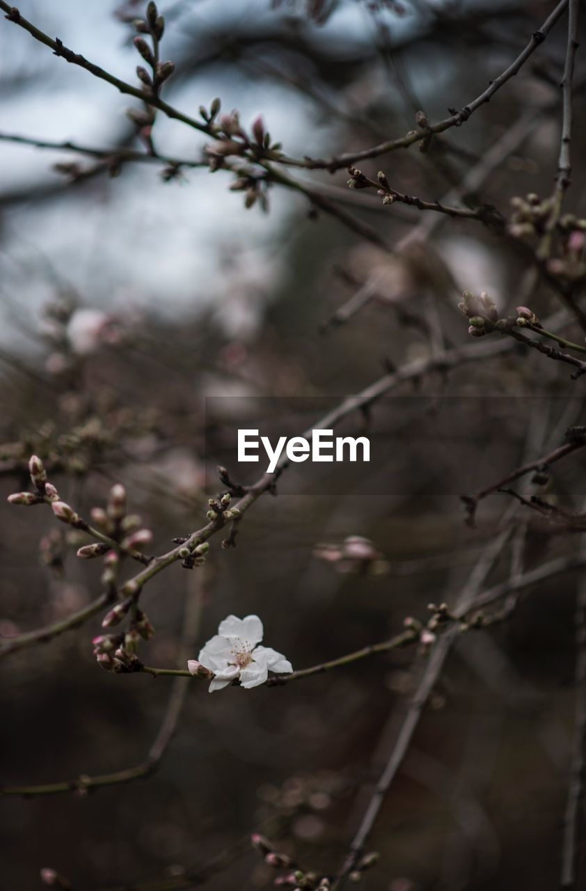 flower, plant, flowering plant, beauty in nature, tree, growth, fragility, branch, vulnerability, nature, freshness, blossom, twig, focus on foreground, no people, springtime, close-up, day, white color, outdoors, cherry blossom, cherry tree, flower head