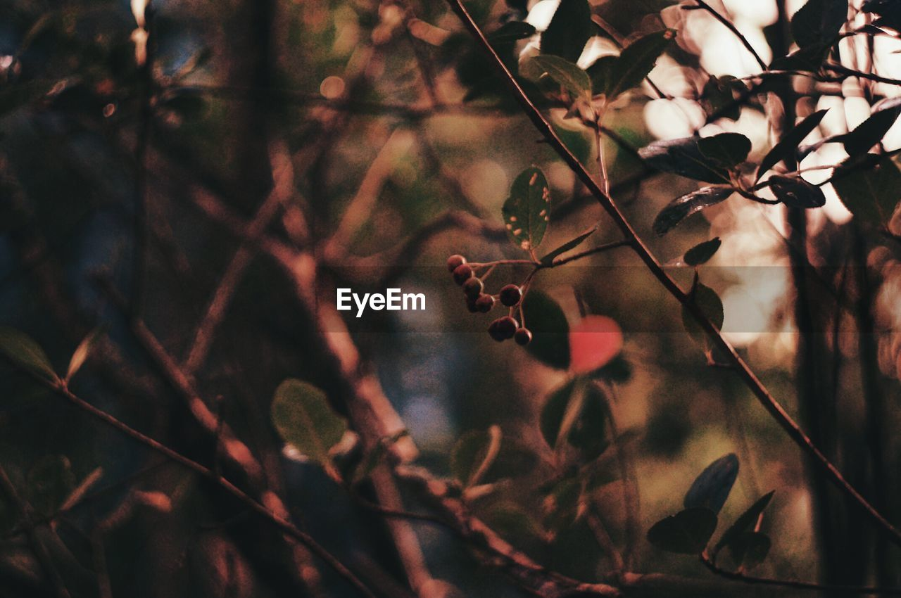 plant, tree, focus on foreground, growth, nature, close-up, beauty in nature, branch, no people, plant part, leaf, twig, day, dry, food, selective focus, outdoors, fruit, freshness, tranquility