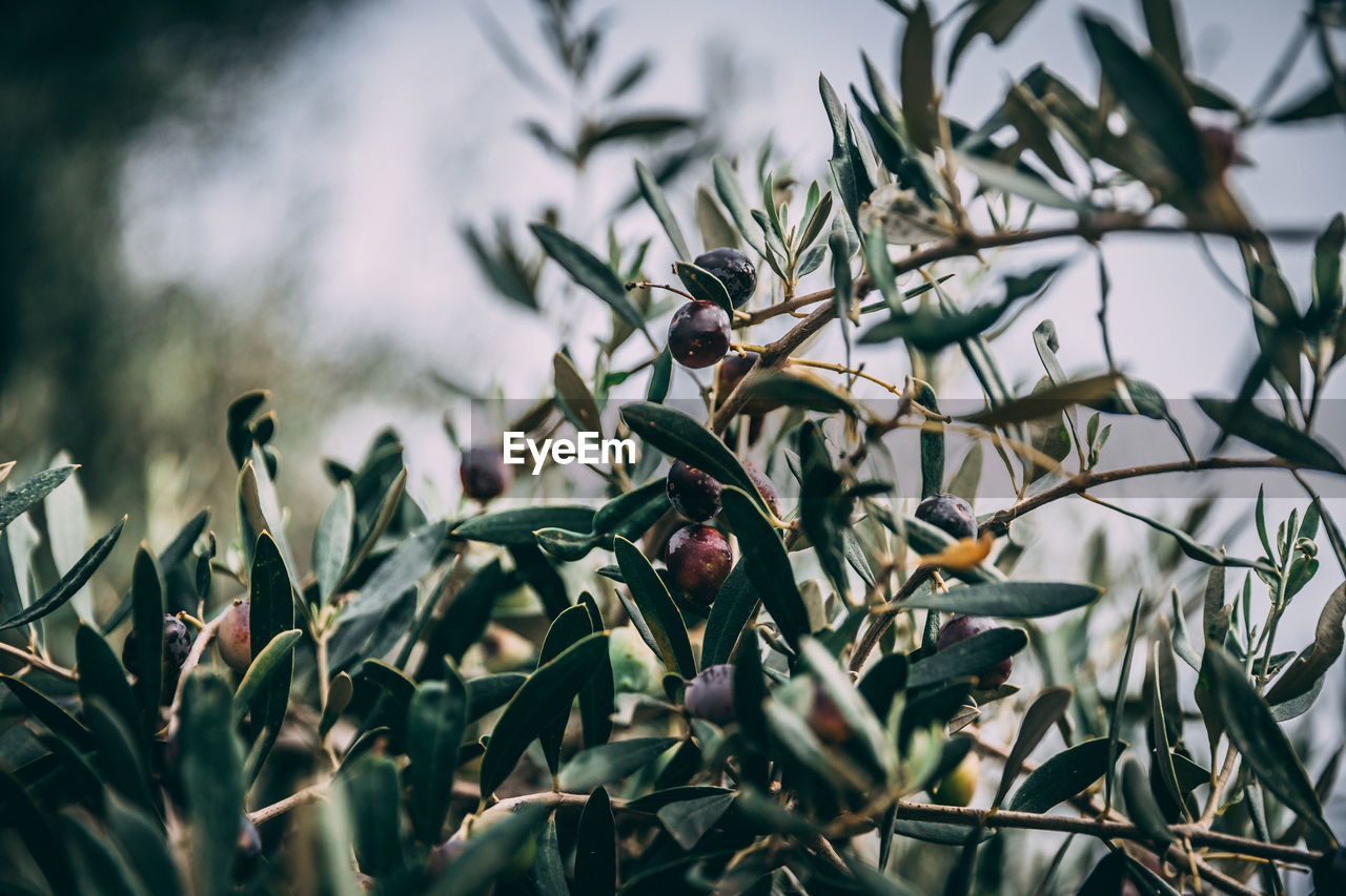 plant, growth, beauty in nature, close-up, no people, selective focus, focus on foreground, leaf, day, plant part, nature, flower, freshness, food, tree, food and drink, outdoors, flowering plant, branch, fruit