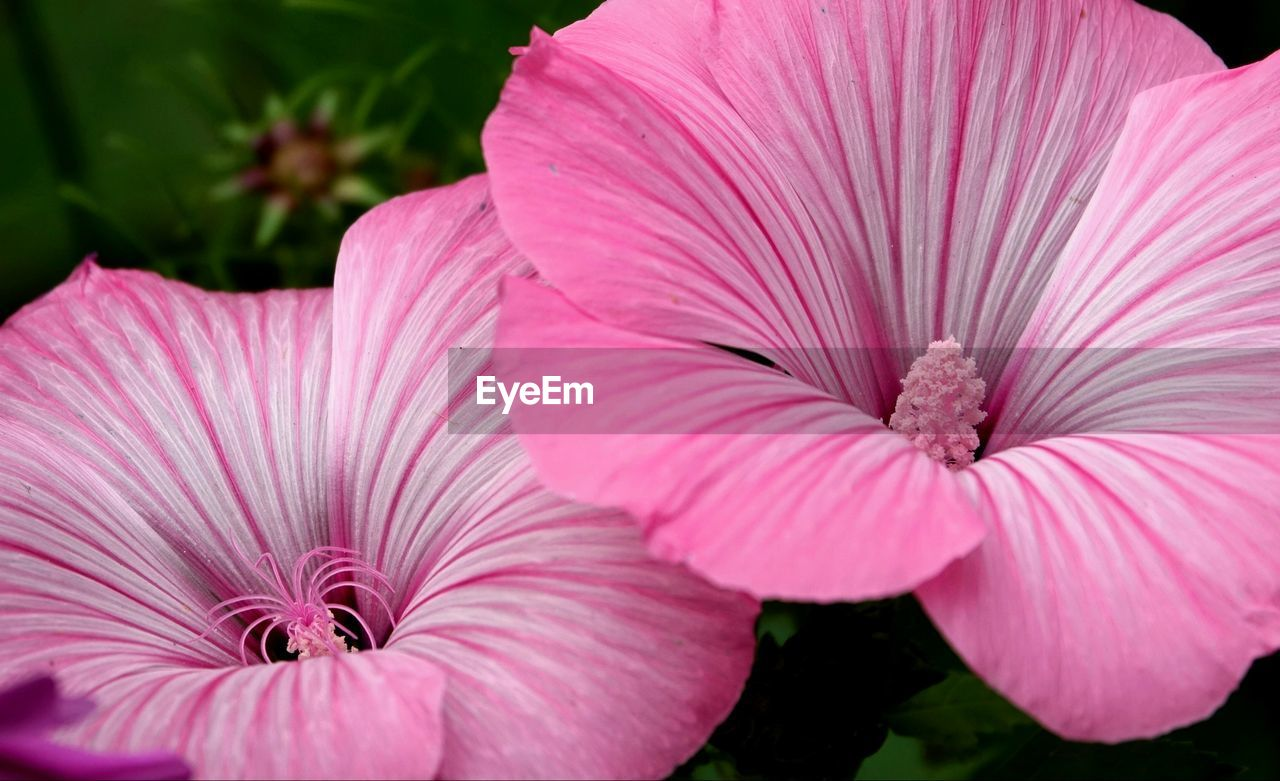 flower, petal, plant, growth, nature, pink color, beauty in nature, flower head, fragility, no people, outdoors, freshness, blooming, close-up, day, petunia