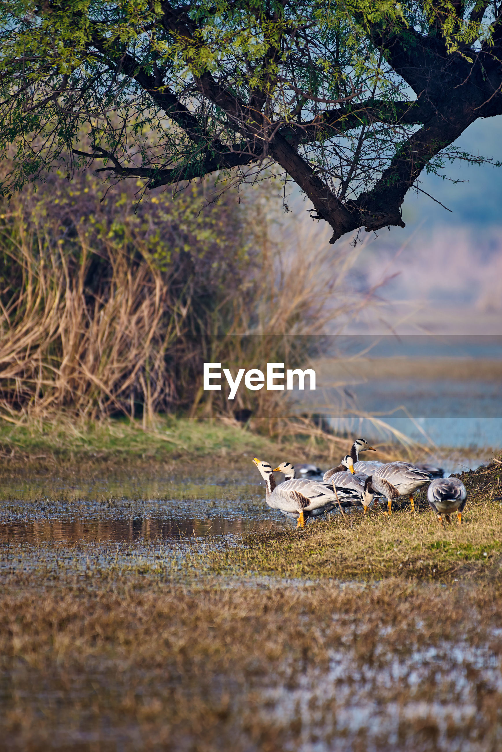 View of group of grey barheaded goose in a national park