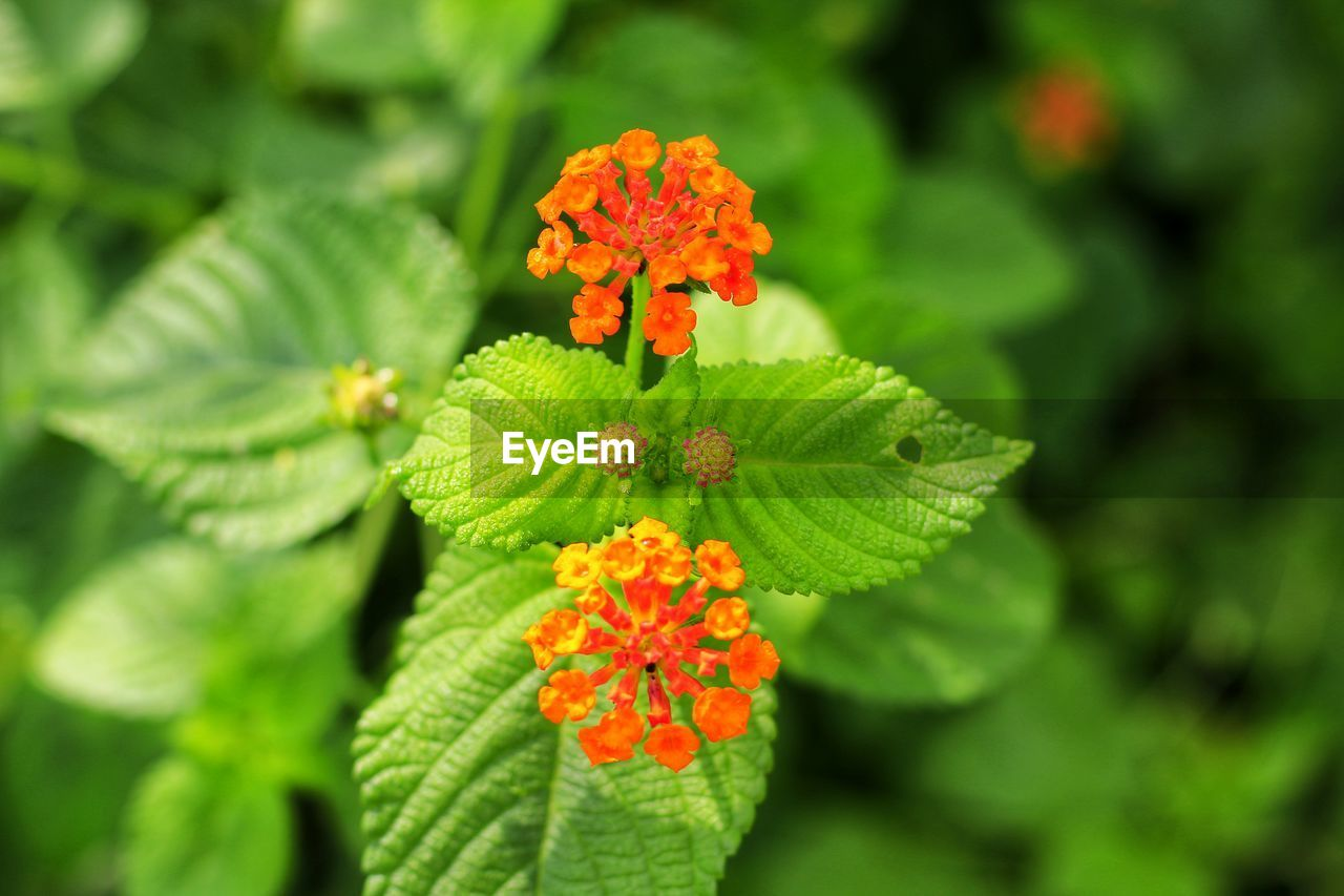 plant, flowering plant, flower, beauty in nature, green color, growth, vulnerability, fragility, close-up, freshness, leaf, flower head, plant part, focus on foreground, petal, inflorescence, nature, day, orange color, no people, lantana