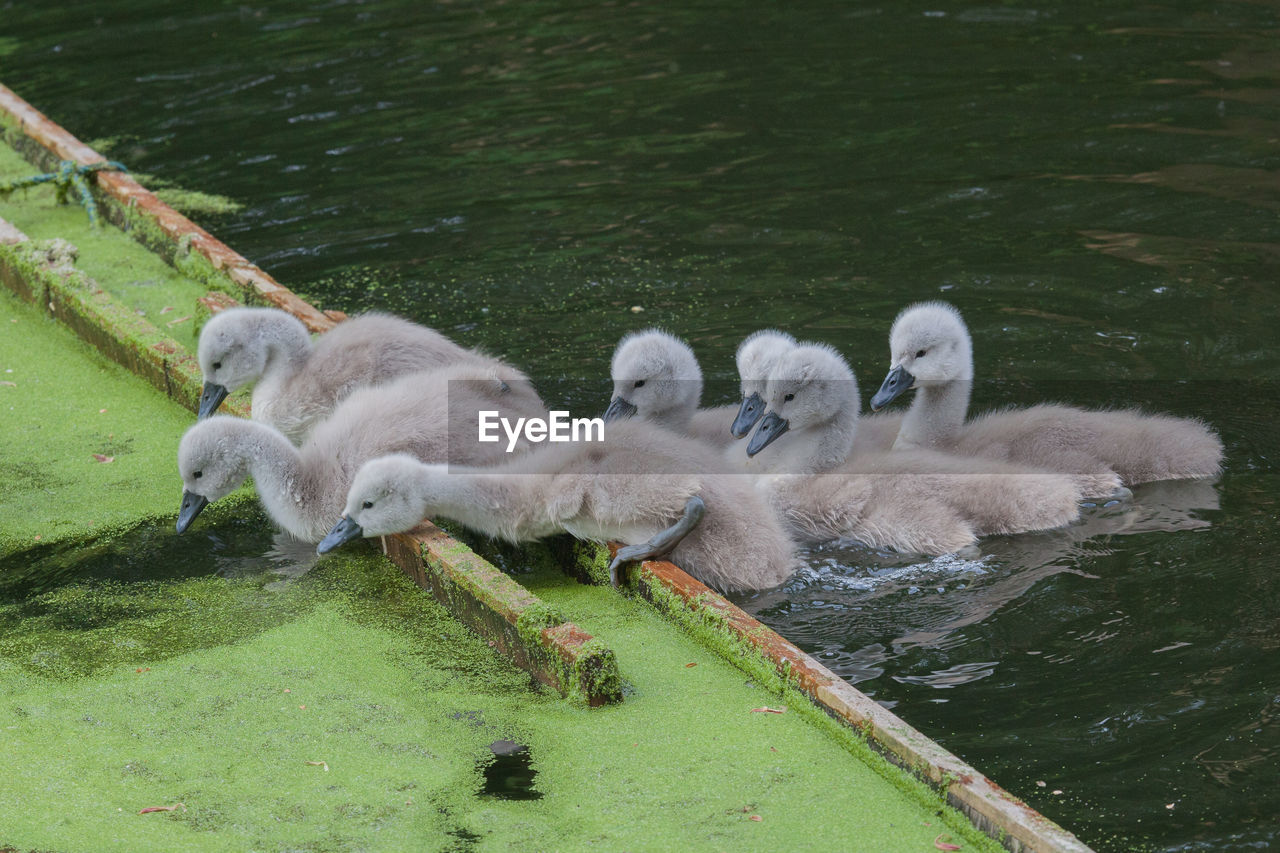Close-Up Of Cygnets In Pond
