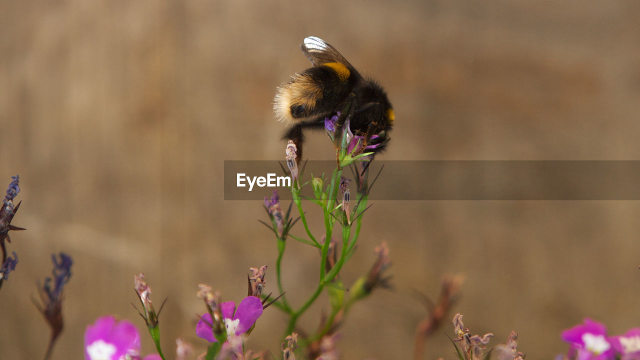 flower, flowering plant, plant, animal themes, one animal, beauty in nature, animal, animals in the wild, vulnerability, fragility, animal wildlife, freshness, insect, invertebrate, close-up, growth, petal, bee, nature, no people, flower head, pollination, purple, outdoors, bumblebee