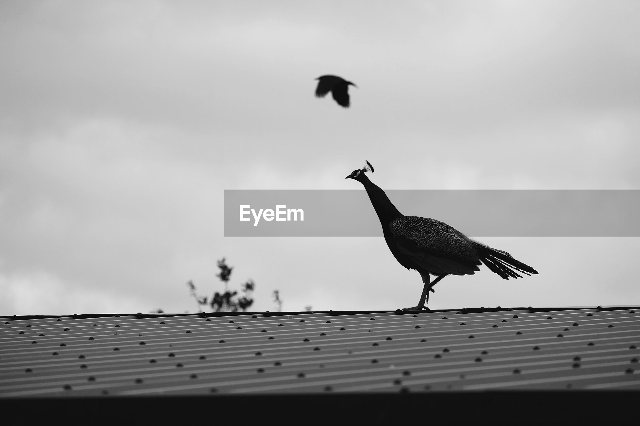 Low angle view of peahen on roof against sky