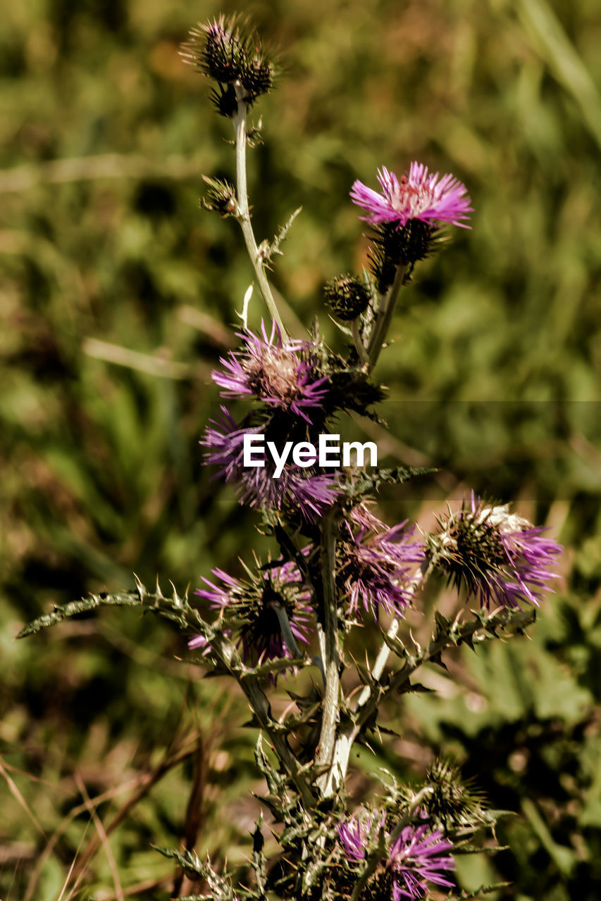 purple, flower, insect, nature, one animal, growth, plant, petal, fragility, beauty in nature, no people, pollination, animal themes, day, outdoors, animals in the wild, freshness, flower head, close-up, bee, blooming, thistle