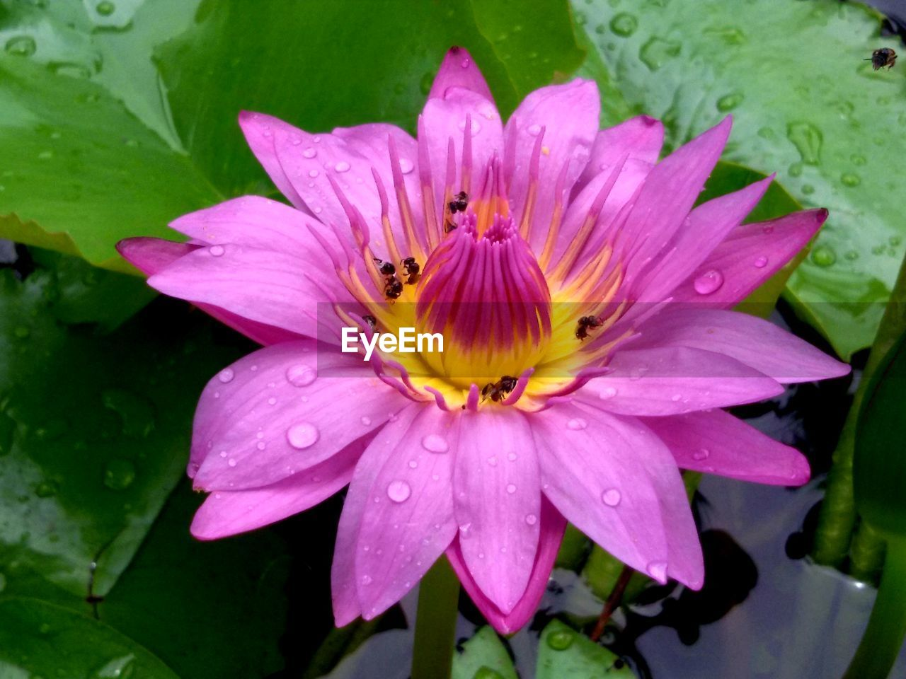 flower, flowering plant, beauty in nature, petal, plant, freshness, growth, fragility, water, flower head, vulnerability, inflorescence, close-up, pollen, invertebrate, nature, pink color, leaf, drop, no people, pollination, rain, dew, purple
