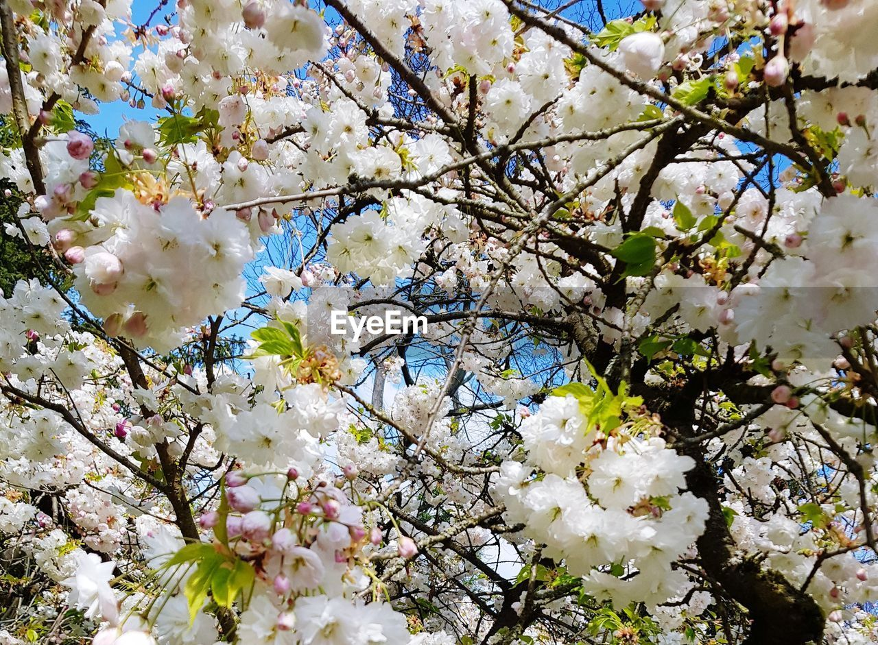 flowering plant, flower, plant, blossom, fragility, tree, vulnerability, freshness, growth, beauty in nature, branch, springtime, low angle view, white color, cherry blossom, nature, day, no people, close-up, botany, flower head, cherry tree, outdoors, spring, bunch of flowers