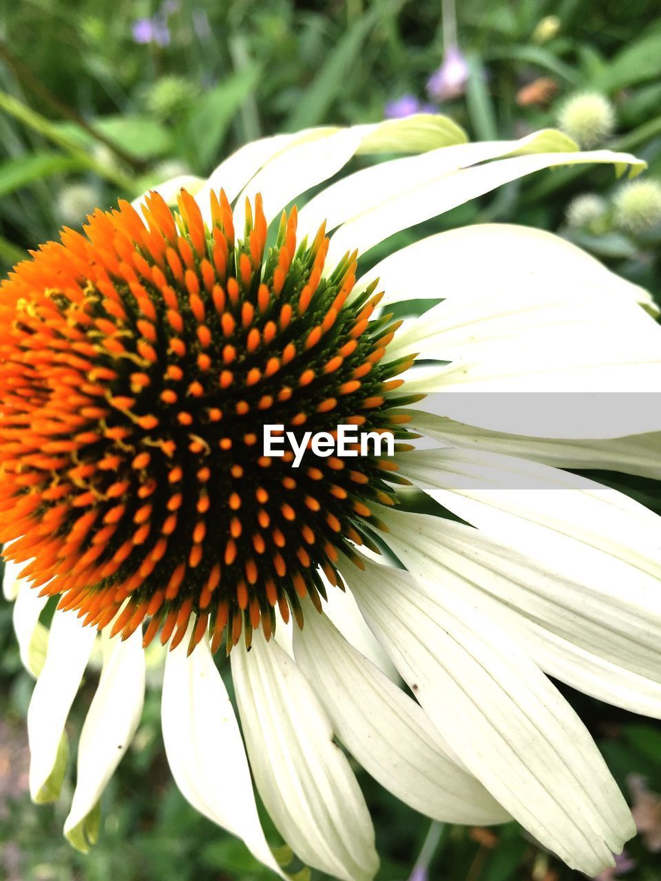 flower, fragility, beauty in nature, day, focus on foreground, petal, nature, freshness, flower head, growth, outdoors, close-up, no people, coneflower, plant, blooming, eastern purple coneflower