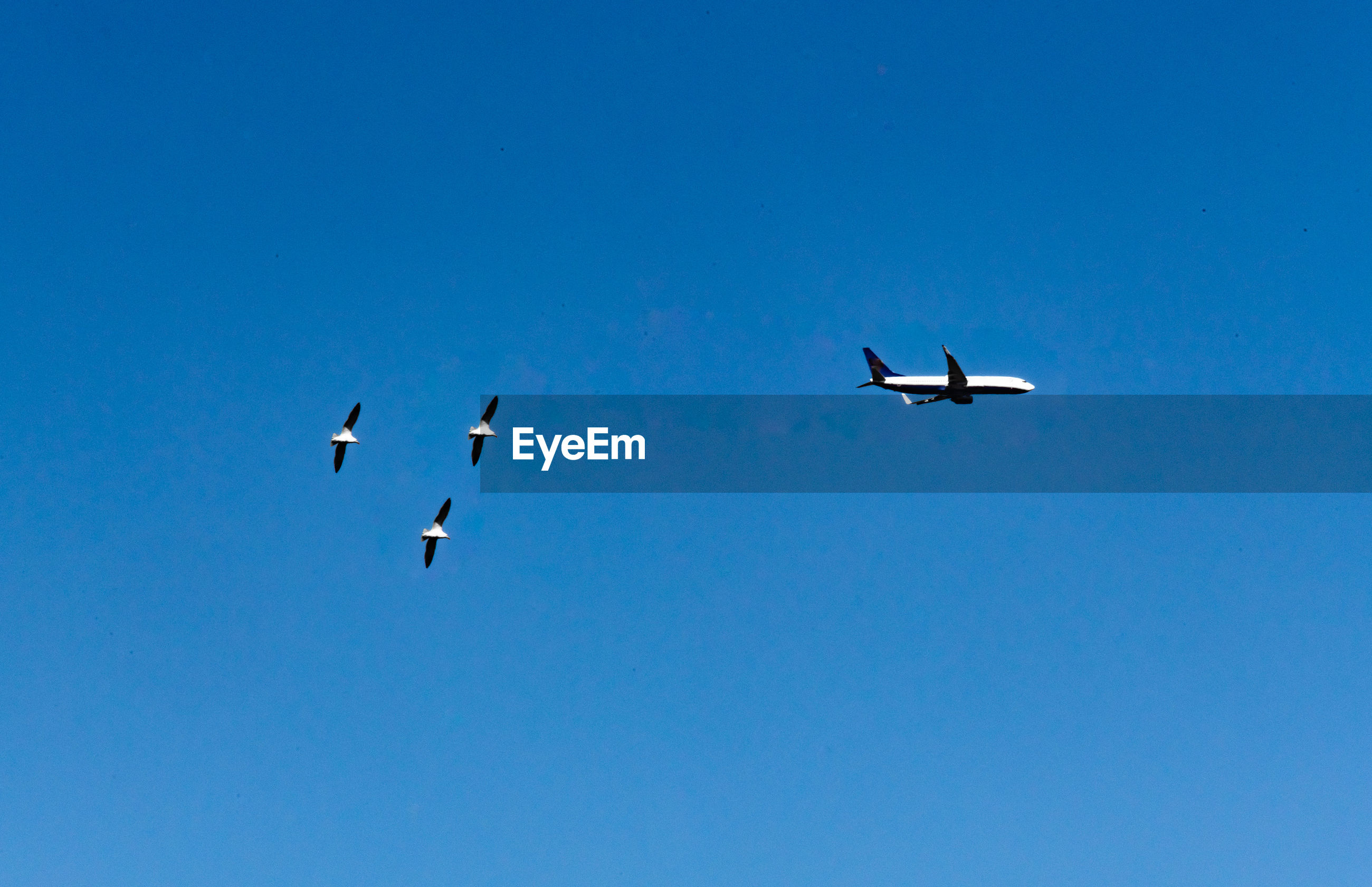 Low angle view of birds and airplane flying in clear blue sky