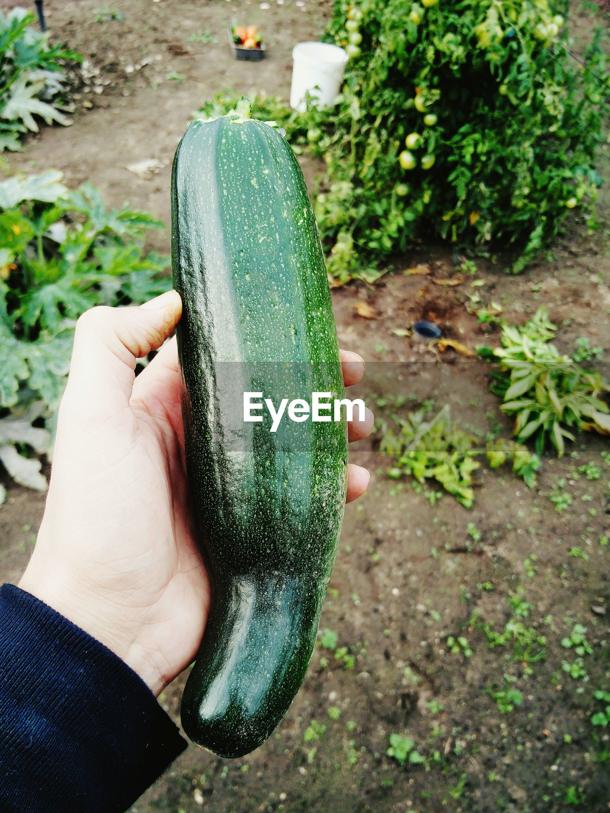 Cropped image of hand holding zucchini on field