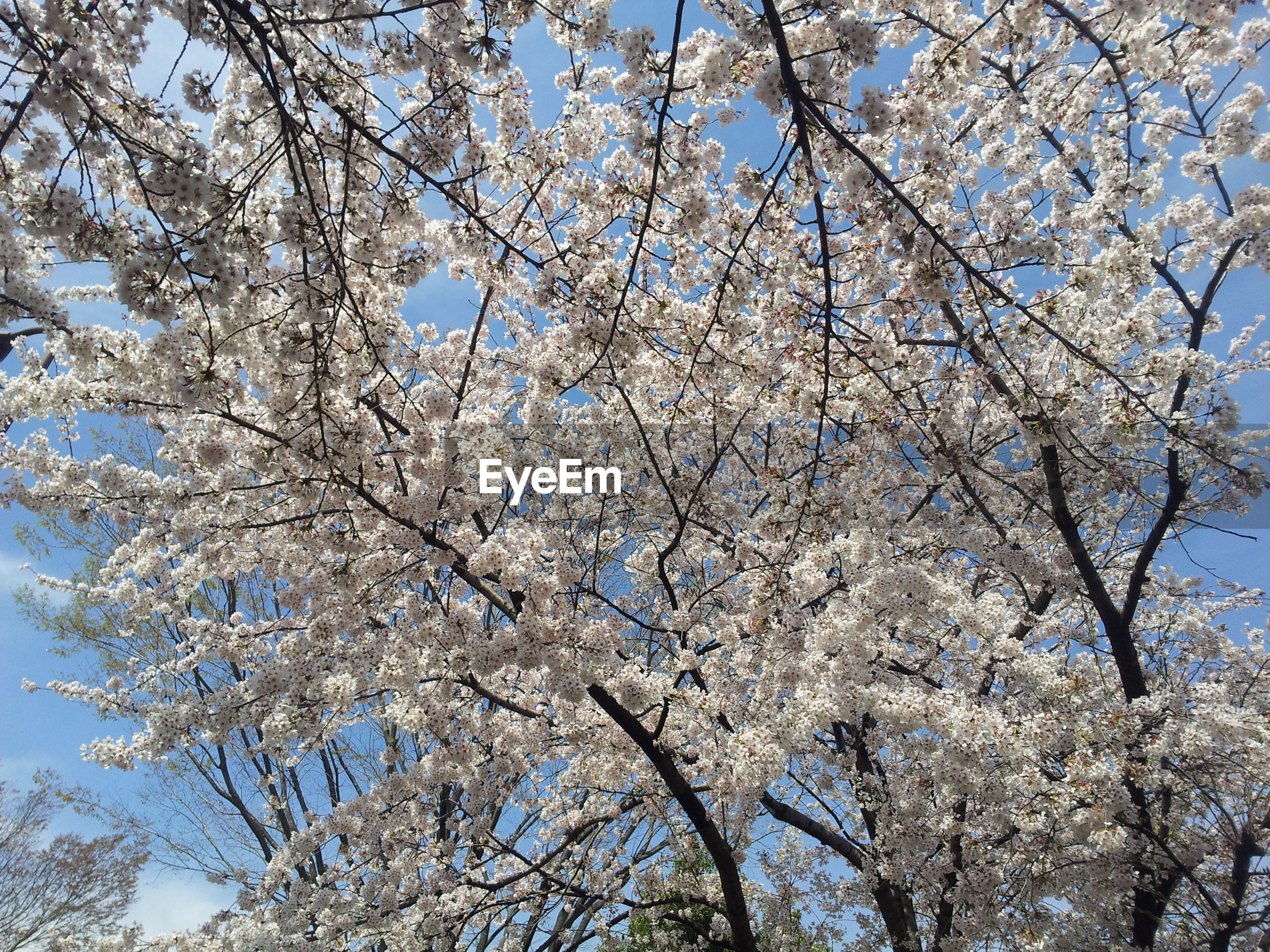 flower, branch, tree, low angle view, freshness, growth, cherry blossom, beauty in nature, fragility, blossom, nature, cherry tree, in bloom, springtime, clear sky, blooming, white color, sky, day, fruit tree