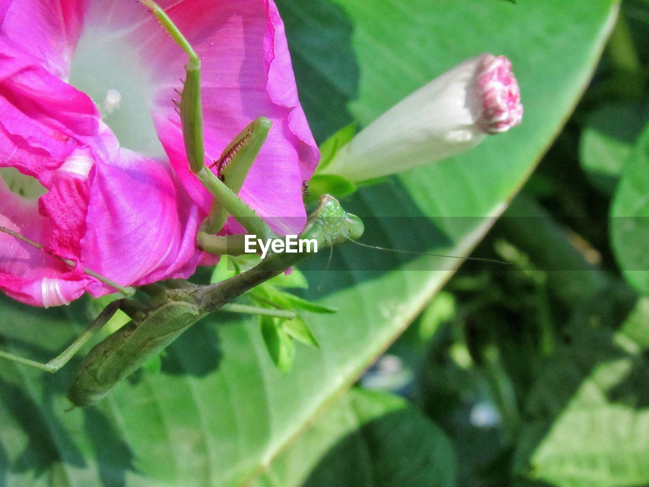 plant, flower, flowering plant, vulnerability, beauty in nature, fragility, growth, freshness, petal, close-up, pink color, flower head, inflorescence, nature, no people, day, plant part, leaf, springtime, outdoors, pollen, purple