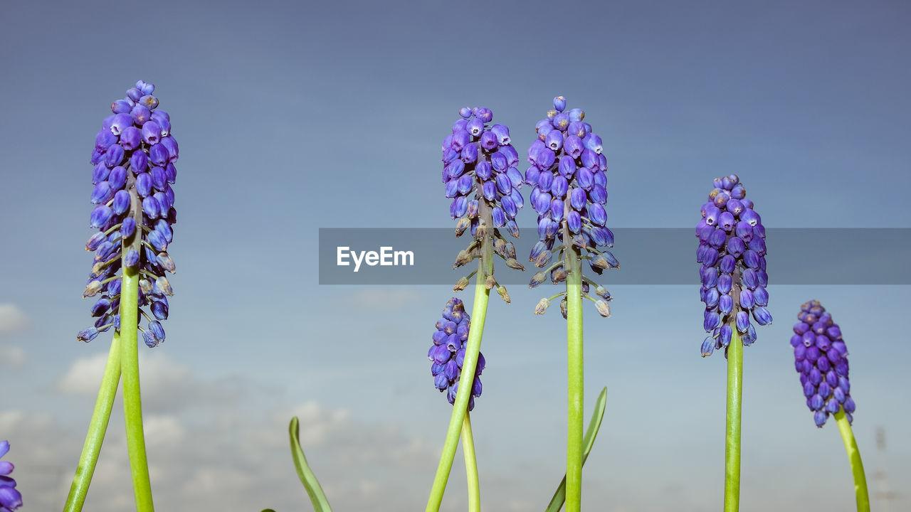 CLOSE-UP OF PURPLE CROCUS FLOWERS AGAINST SKY