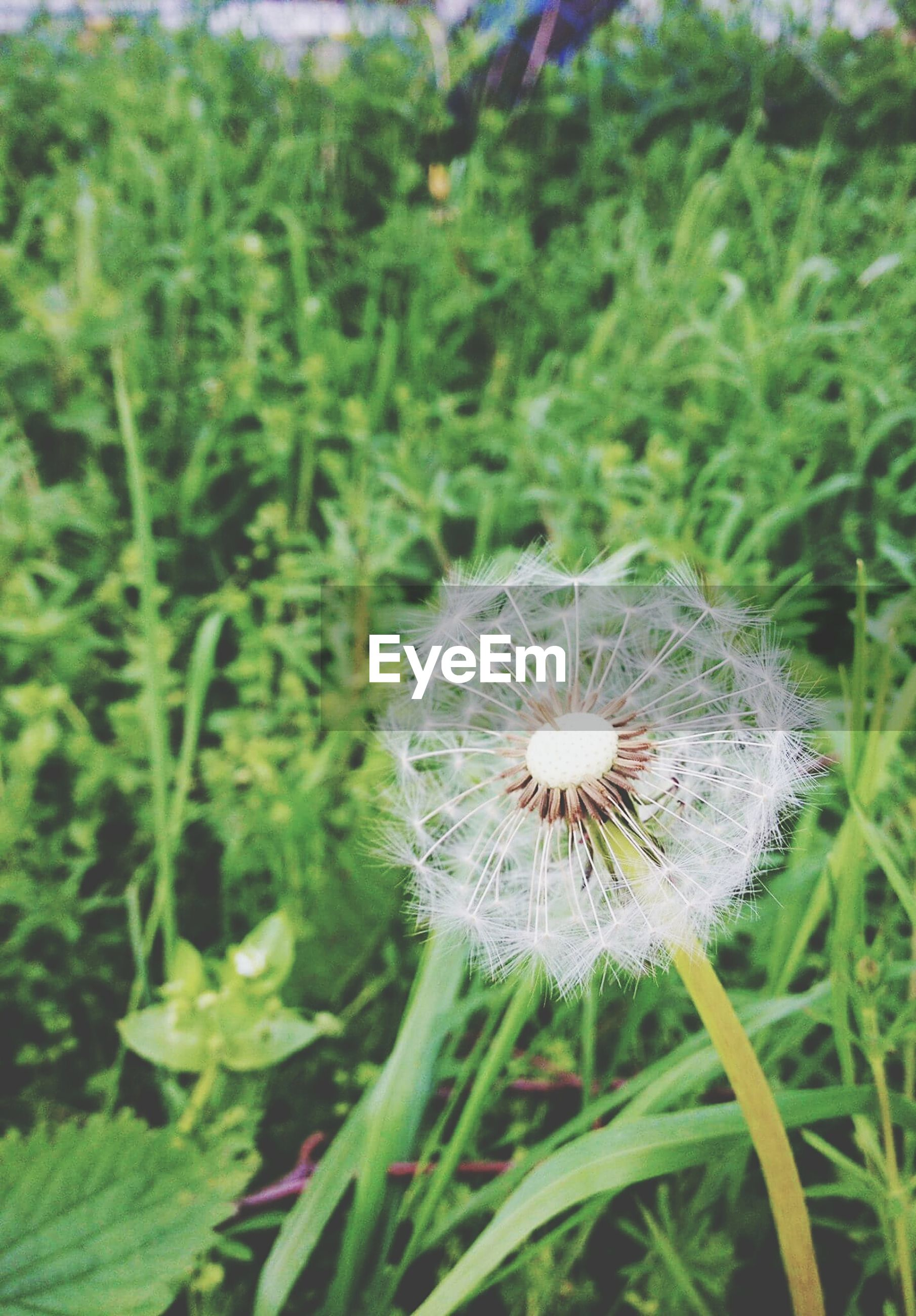 flower, growth, fragility, freshness, white color, plant, dandelion, focus on foreground, beauty in nature, flower head, nature, close-up, field, stem, wildflower, green color, uncultivated, blooming, single flower, petal