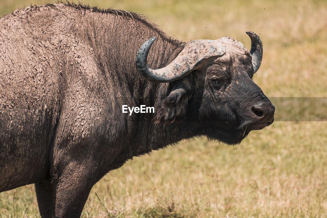 African buffalo standing on field