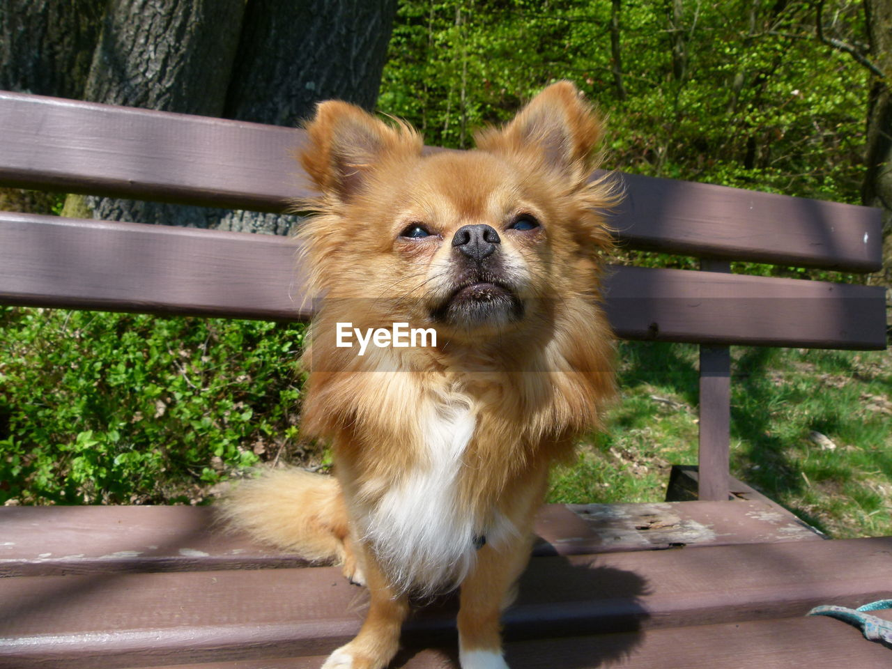 one animal, animal themes, mammal, animal, dog, domestic animals, canine, domestic, pets, vertebrate, day, no people, portrait, plant, nature, outdoors, looking, brown, looking at camera, sunlight, small, pomeranian, animal head