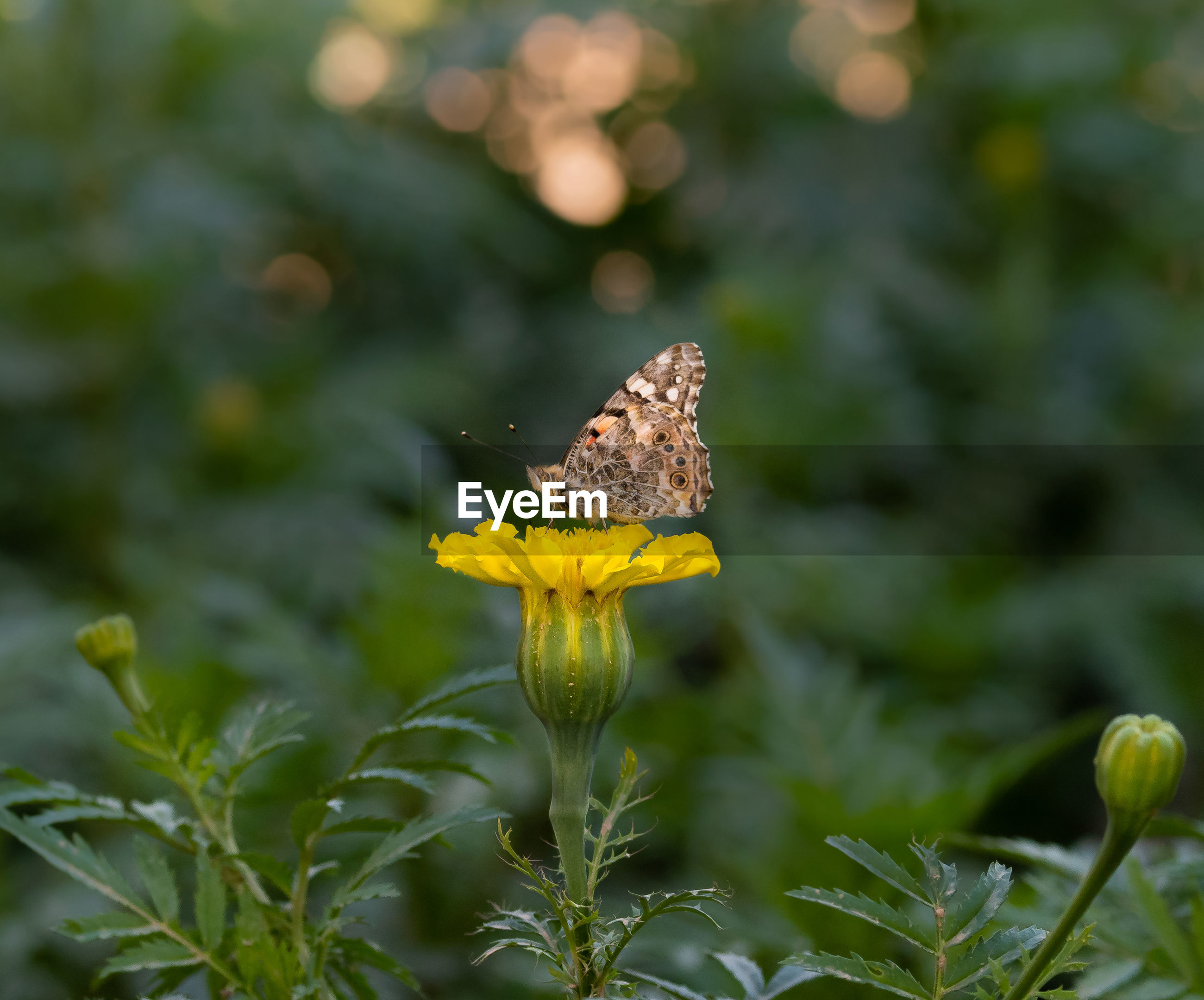 CLOSE-UP OF YELLOW BUTTERFLY ON FLOWER