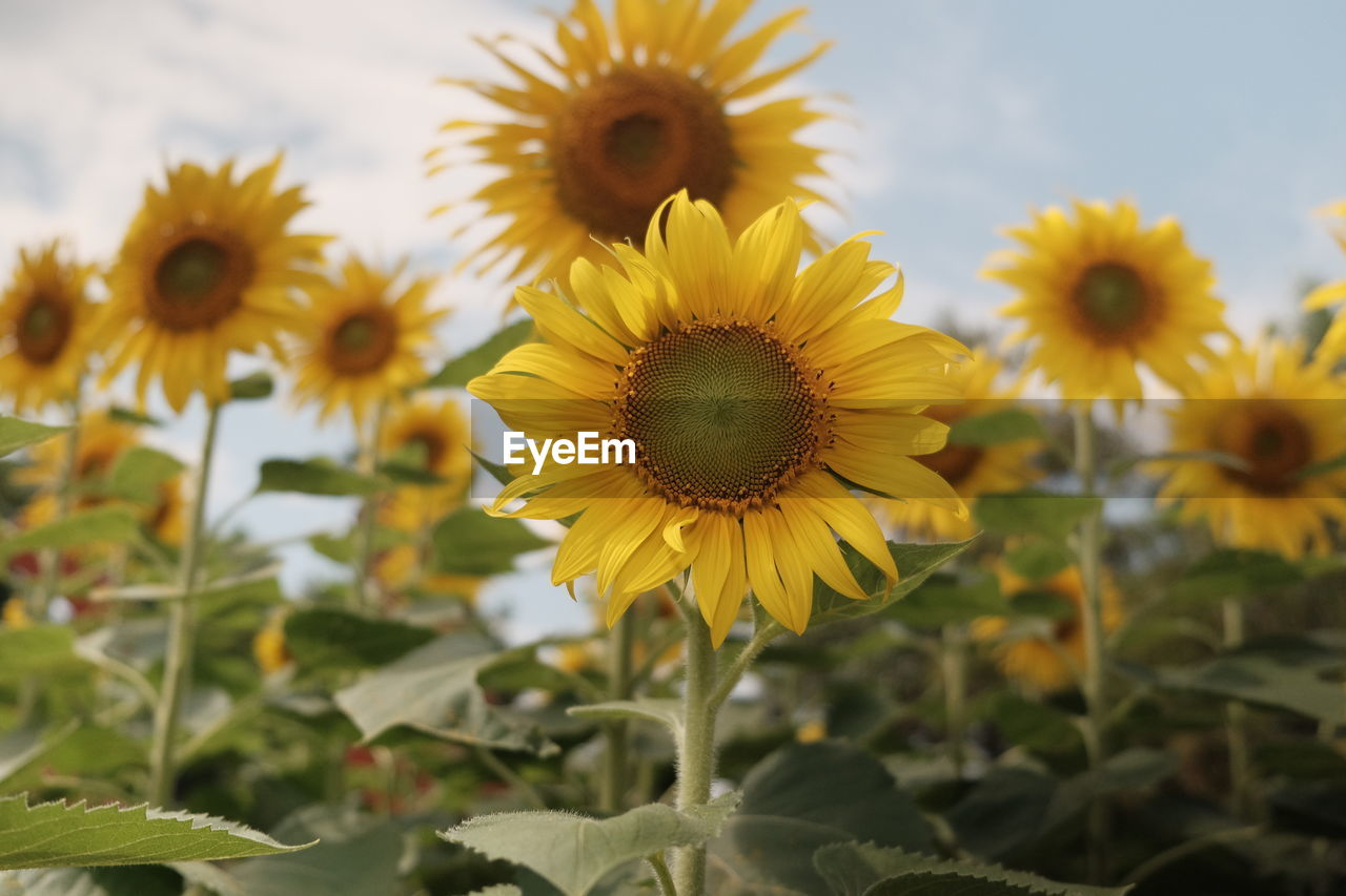 Close-up of sunflower on field
