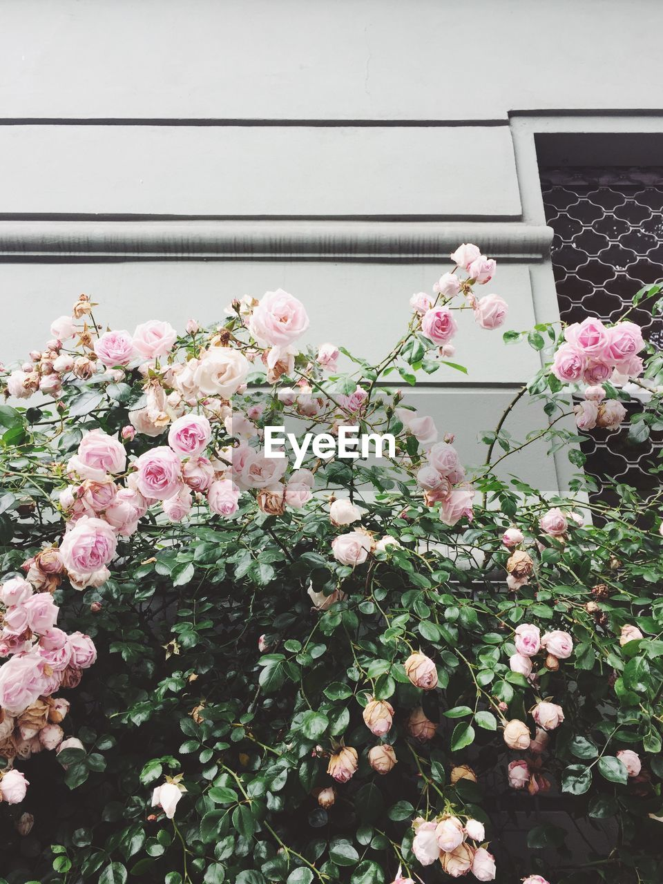 Low angle view of pink roses blooming against house