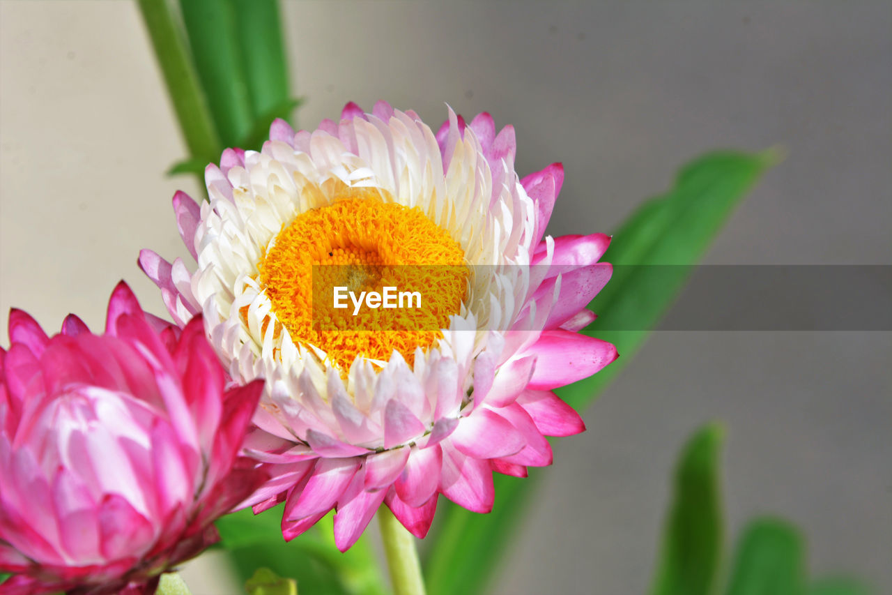 flowering plant, flower, vulnerability, plant, fragility, freshness, beauty in nature, petal, inflorescence, close-up, flower head, nature, yellow, focus on foreground, no people, pink color, growth, selective focus, pollen, flower arrangement