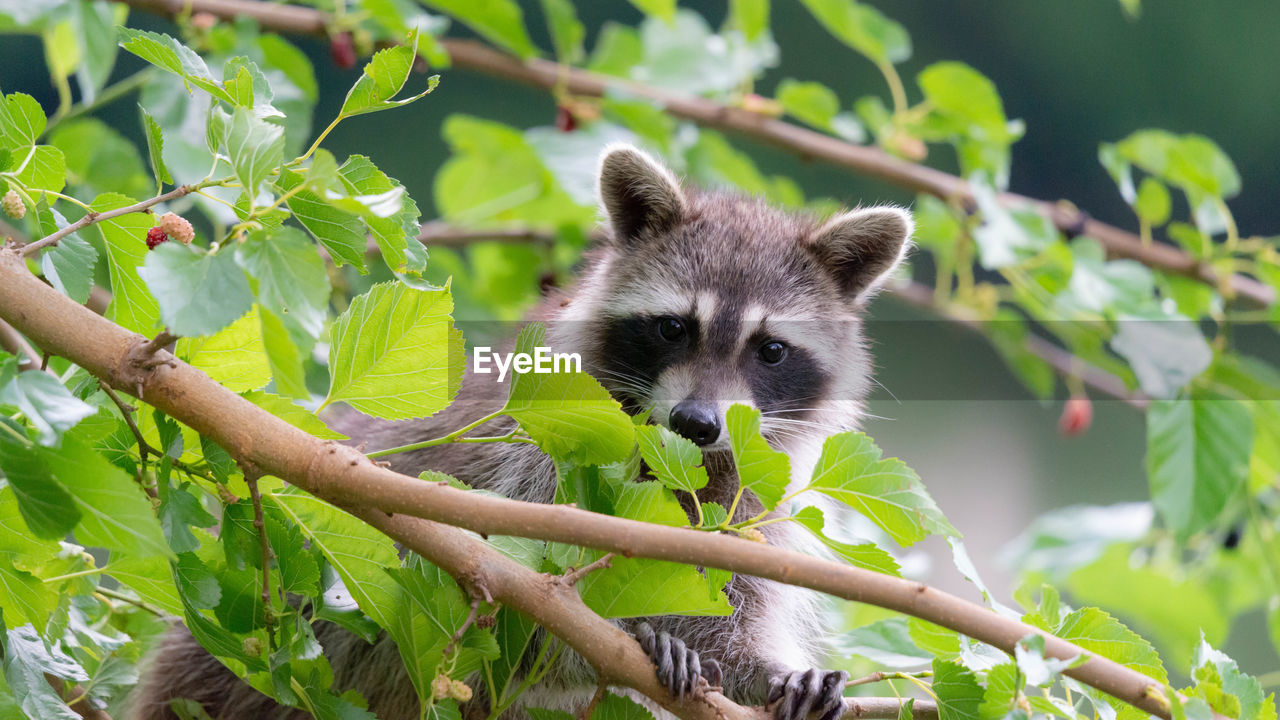animal themes, animal, one animal, animal wildlife, animals in the wild, plant, tree, mammal, vertebrate, nature, leaf, branch, plant part, no people, day, outdoors, raccoon, growth, focus on foreground, green color, whisker, bamboo - plant