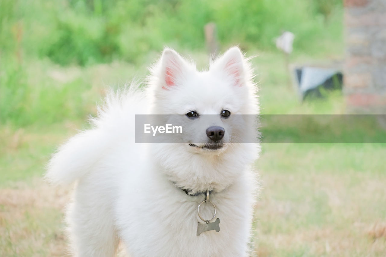 Close-Up Of Pomeranian Standing On Field
