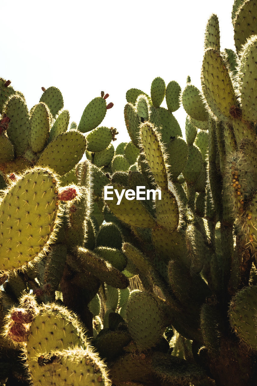 growth, plant, cactus, succulent plant, green color, nature, no people, day, beauty in nature, thorn, close-up, spiked, sharp, sky, outdoors, sunlight, prickly pear cactus, fragility, leaf, vulnerability, arid climate