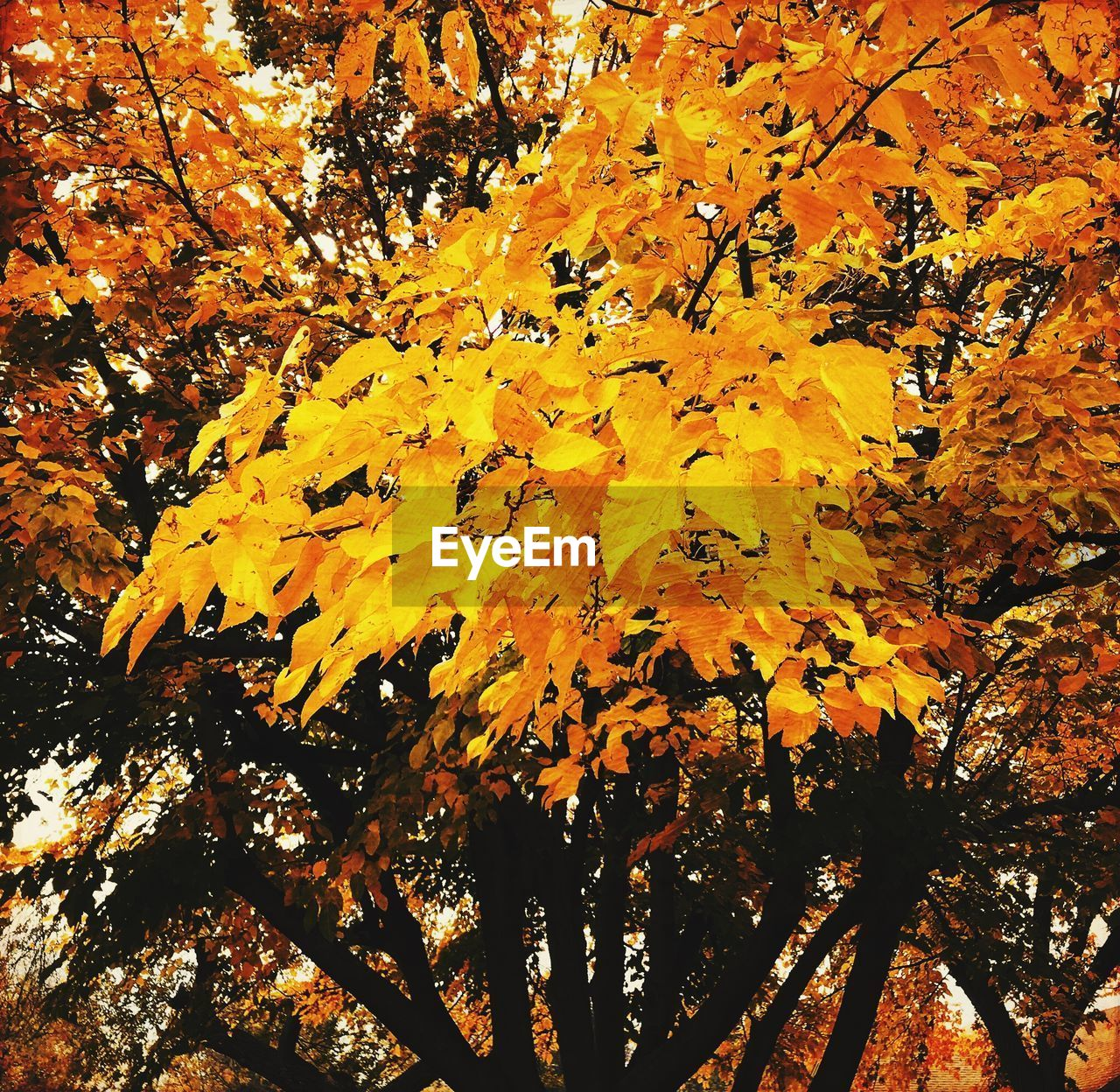 autumn, leaf, change, nature, beauty in nature, tree, yellow, tranquility, outdoors, branch, maple leaf, growth, no people, day, maple, maple tree, scenics, low angle view, fragility, close-up