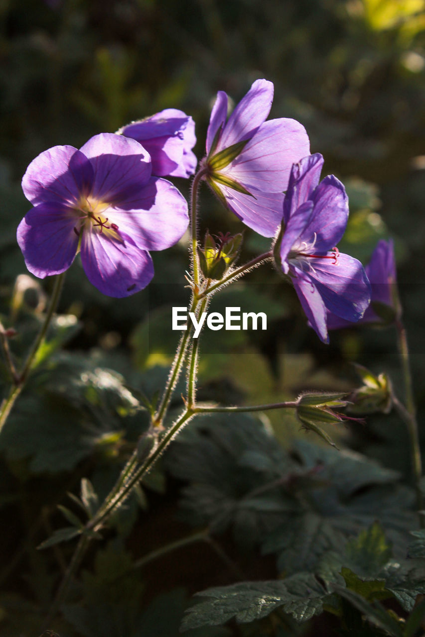 flower, nature, petal, growth, fragility, plant, beauty in nature, purple, no people, blooming, outdoors, freshness, flower head, day, close-up