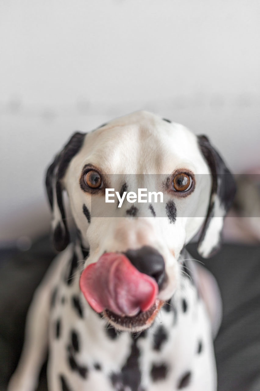dog, canine, one animal, looking at camera, portrait, domestic, pets, animal themes, domestic animals, mammal, animal, dalmatian dog, vertebrate, focus on foreground, close-up, no people, indoors, spotted, animal body part, sticking out tongue, mouth open, animal tongue, animal head, animal mouth