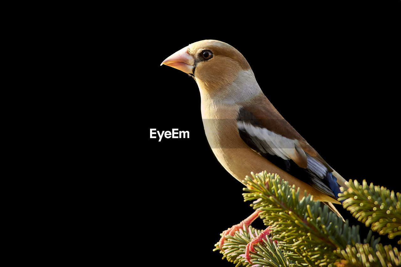 animal themes, one animal, animal, vertebrate, bird, animal wildlife, animals in the wild, copy space, close-up, no people, perching, nature, studio shot, looking away, beauty in nature, outdoors, day, side view, looking, plant, black background