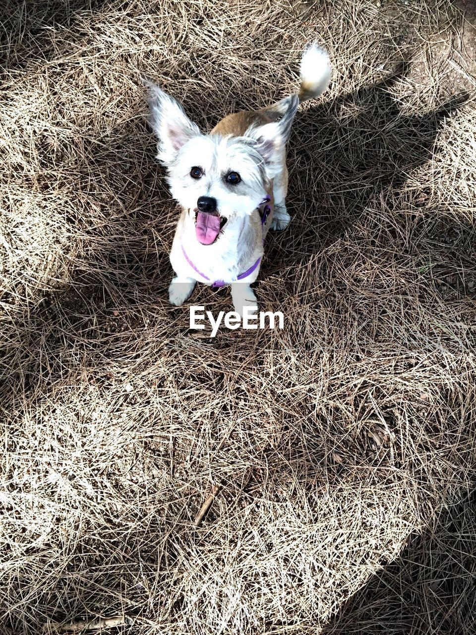 High Angle View Of Dog Sticking Out Tongue While Standing On Hay