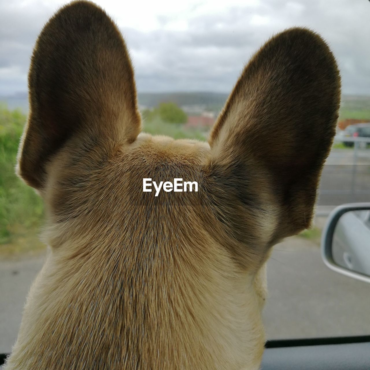 one animal, mammal, animal, animal themes, pets, domestic, domestic animals, vertebrate, dog, canine, close-up, no people, focus on foreground, animal body part, day, rear view, transportation, car, motor vehicle, animal head, animal ear