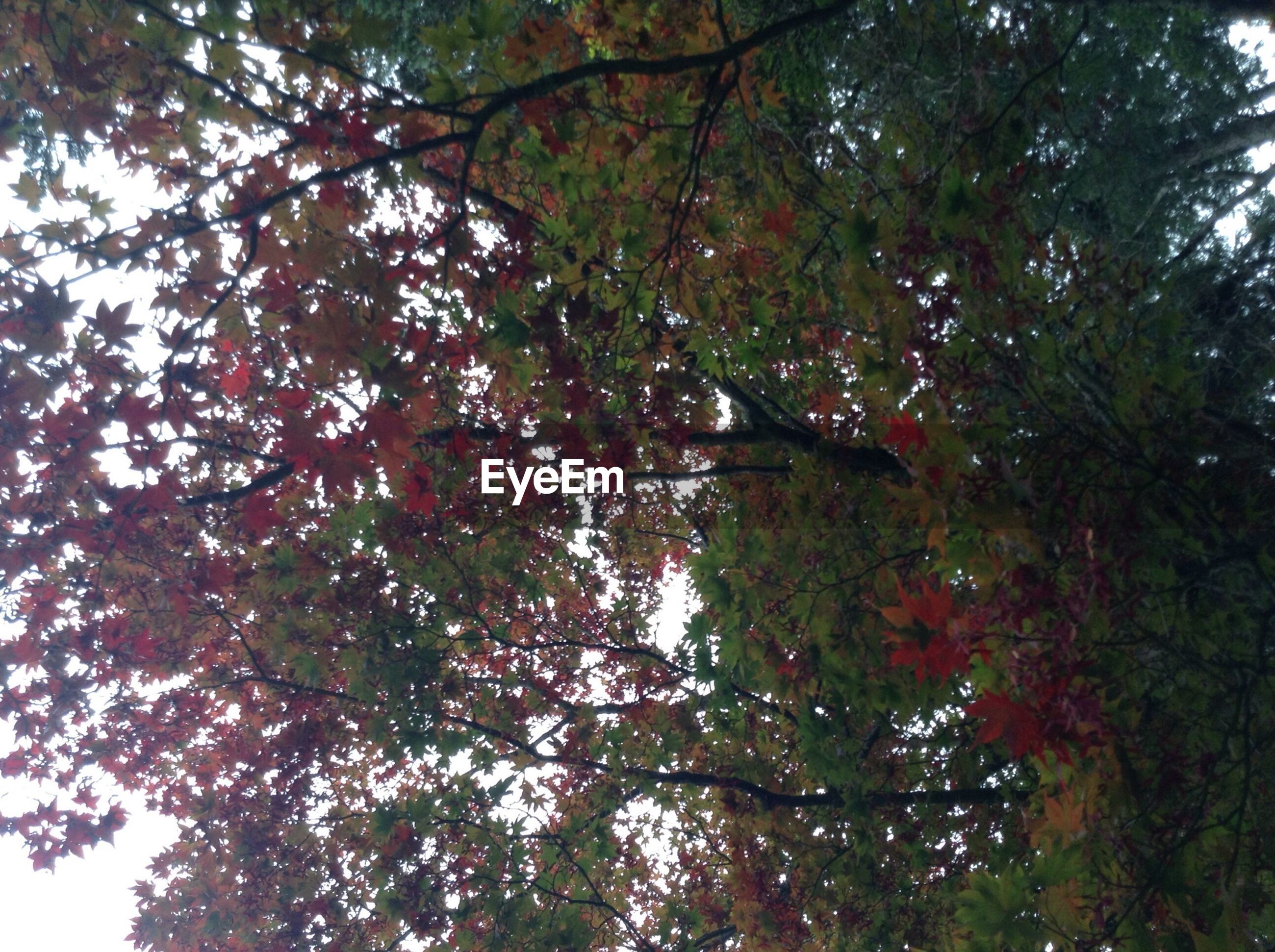 tree, low angle view, branch, growth, leaf, nature, tranquility, beauty in nature, autumn, forest, green color, day, clear sky, change, tree trunk, sky, outdoors, lush foliage, scenics, no people
