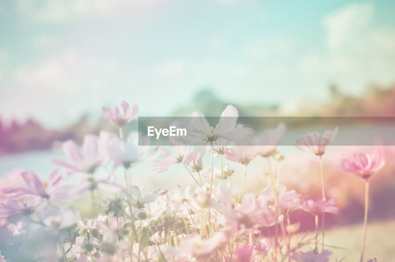 flower, flowering plant, beauty in nature, plant, fragility, freshness, vulnerability, growth, pink color, sky, close-up, nature, petal, tranquility, day, selective focus, flower head, no people, inflorescence, focus on foreground, outdoors, cherry blossom