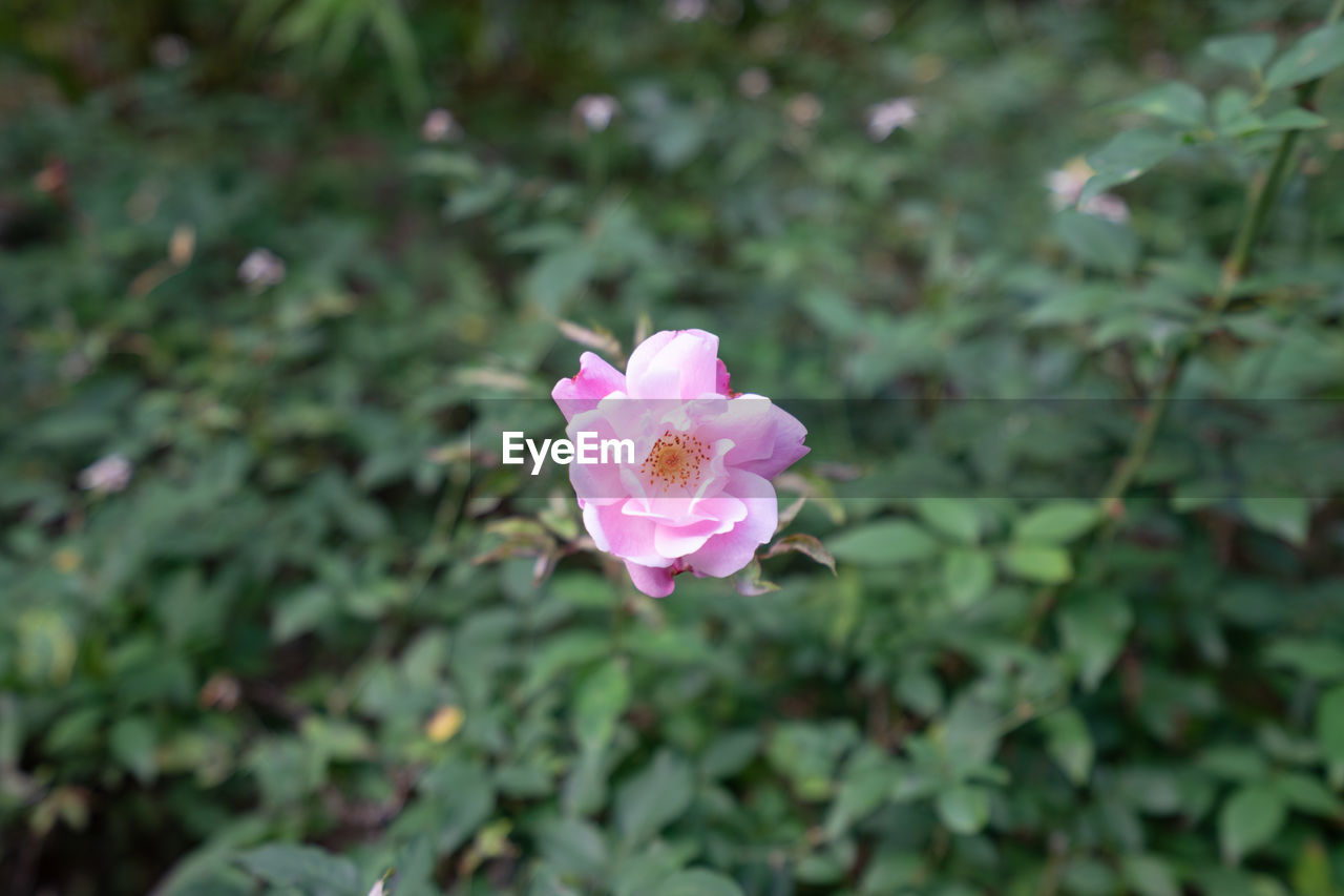 pink color, plant, beauty in nature, flowering plant, growth, petal, flower, freshness, fragility, vulnerability, close-up, inflorescence, flower head, nature, selective focus, no people, day, outdoors, focus on foreground, leaf