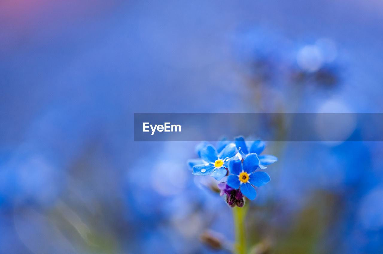 flowering plant, flower, plant, freshness, vulnerability, fragility, close-up, beauty in nature, blue, petal, growth, flower head, inflorescence, selective focus, focus on foreground, nature, no people, day, purple, botany, pollen