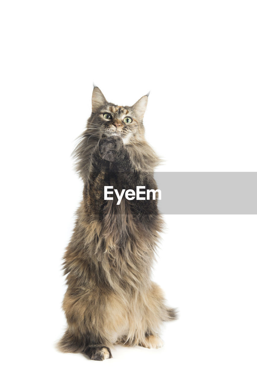 Portrait of maine coon cat against white background