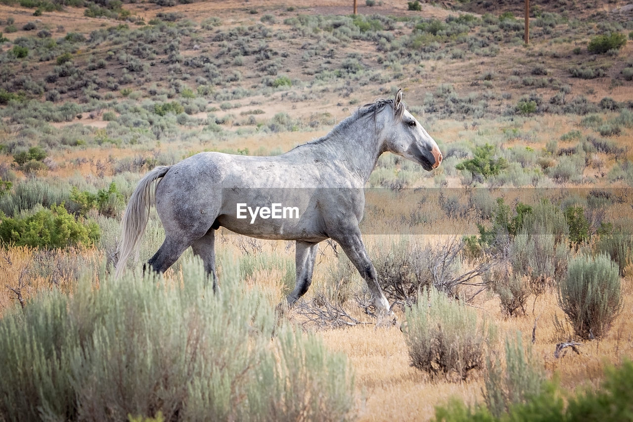 animal themes, animal, mammal, animal wildlife, one animal, vertebrate, animals in the wild, plant, domestic animals, grass, land, nature, environment, horse, landscape, side view, no people, livestock, field, full length, outdoors, herbivorous, profile view, semi-arid