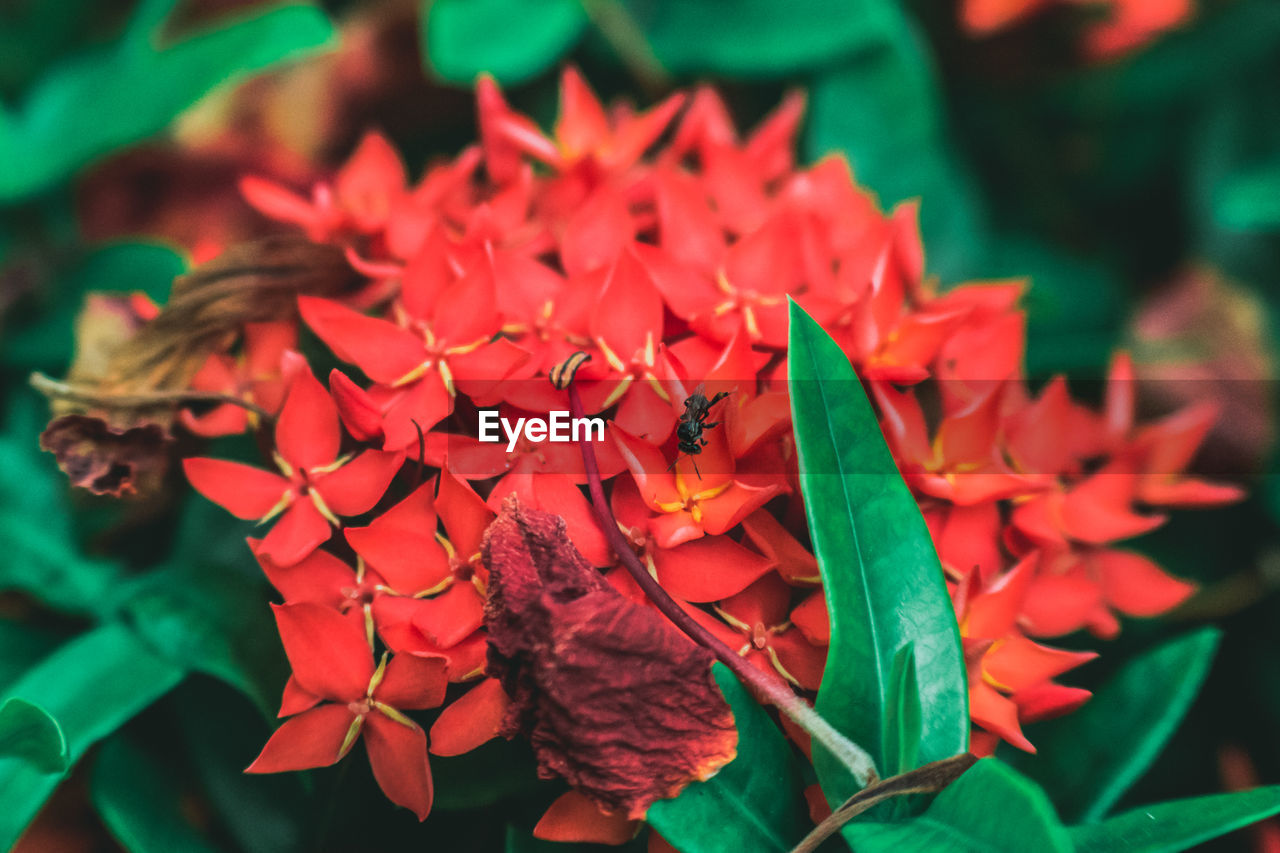Close-up of ixora flowers