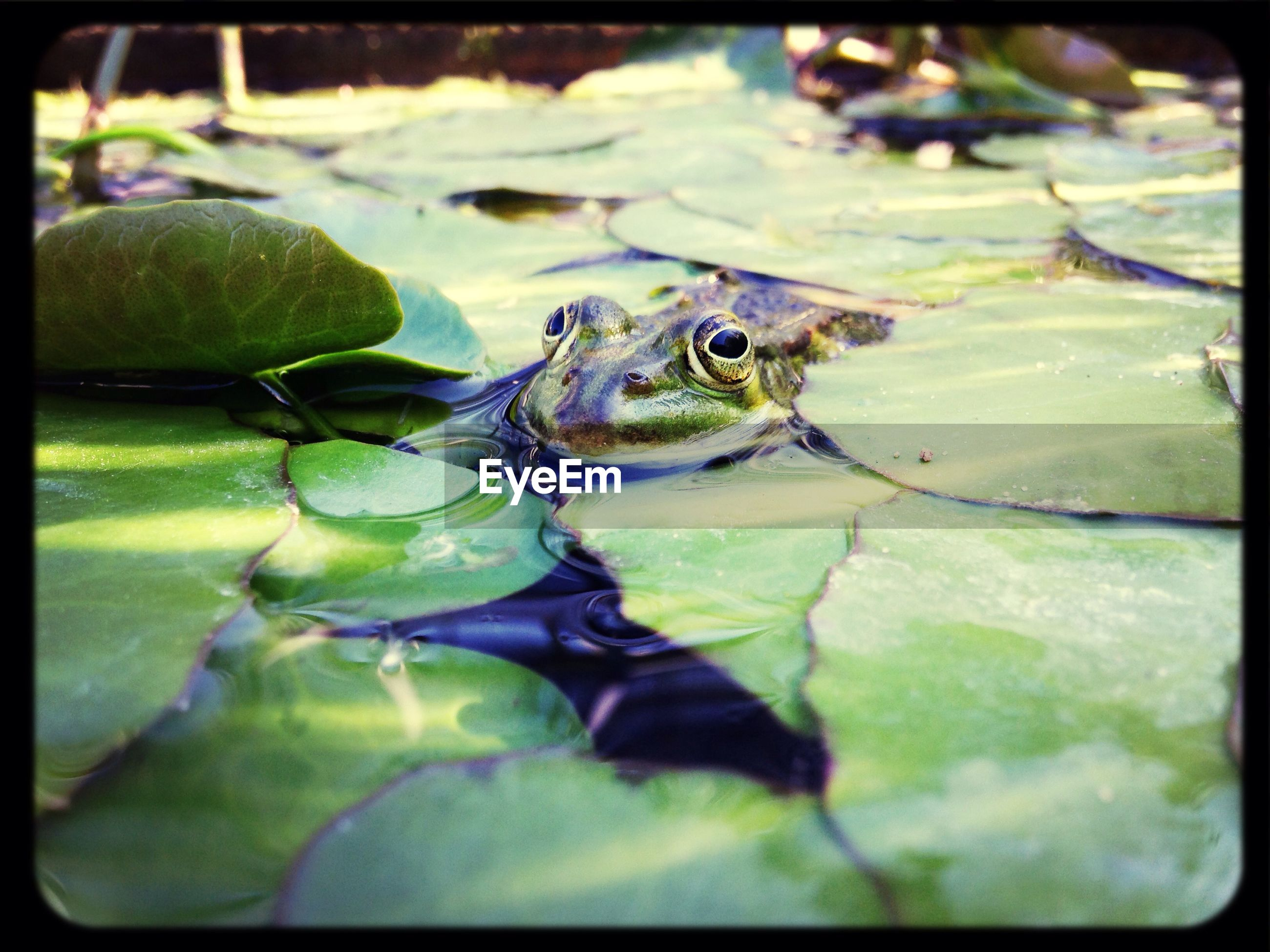 animal themes, one animal, animals in the wild, transfer print, wildlife, water, auto post production filter, leaf, green color, pond, frog, reptile, close-up, nature, swimming, amphibian, selective focus, high angle view, outdoors, day